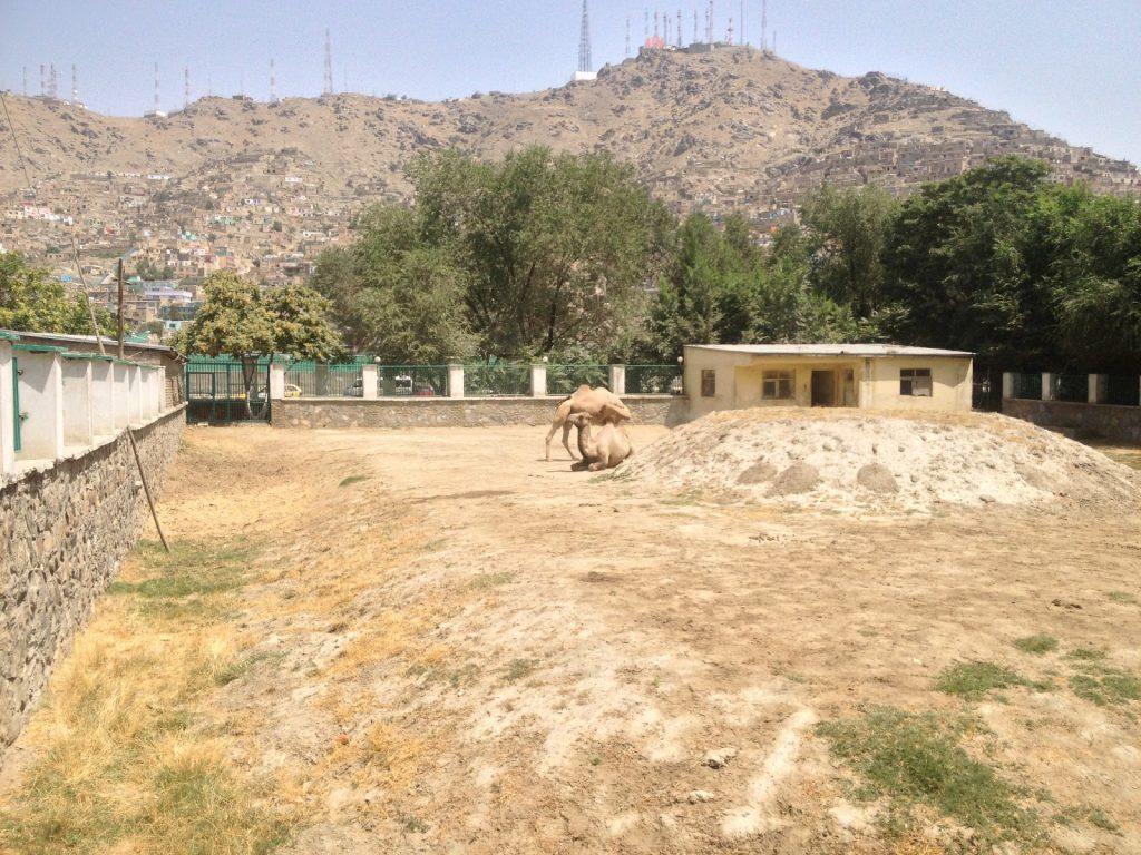 WIelbłądy w Kabulskim Zoo na tle wzgórza telewizyjnego