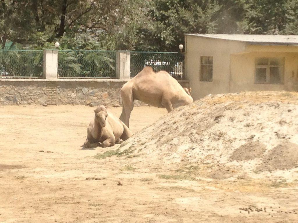 Wielbłądy wypoczywają sobie za górką w Kabulskim zoo