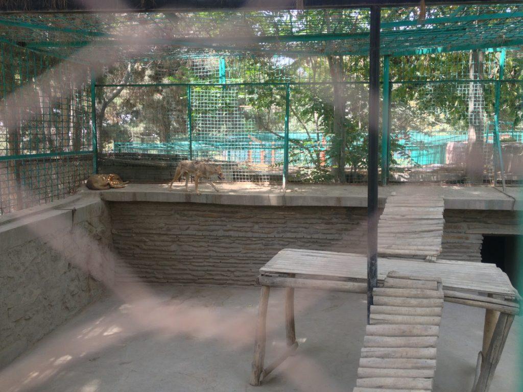 Wilki szakale czy jakieś inne psowate zwierzęta w Kabulskim Zoo