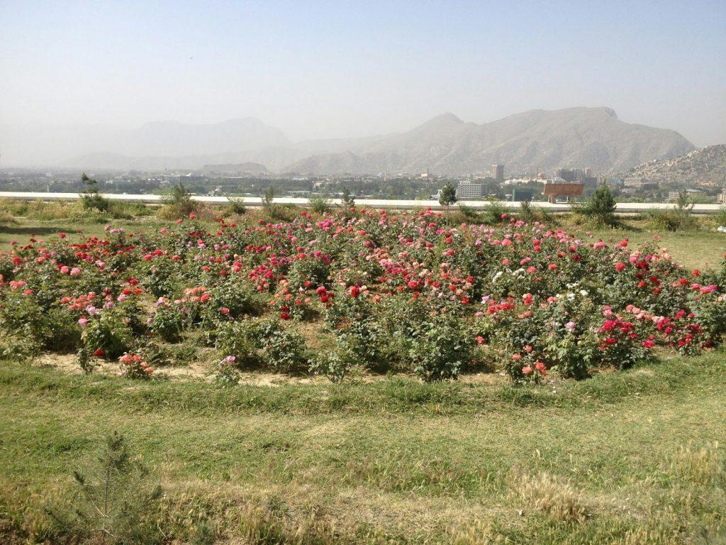 Ogród różany na szczycie wzgórza Wazir Akbar Khan