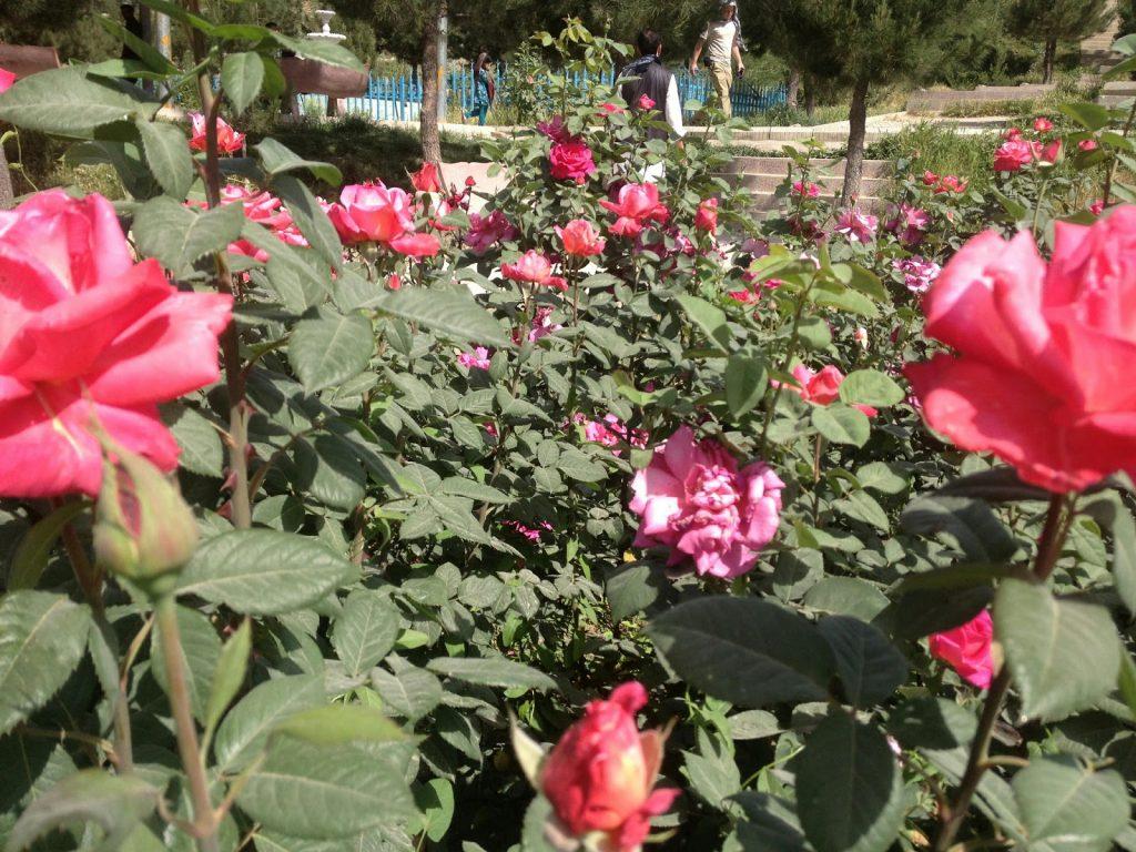 Róże na zboczy wzgórza Wazir Akbar Khan