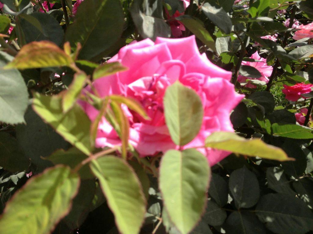 Kwiat róży w ogrodzie różanym
