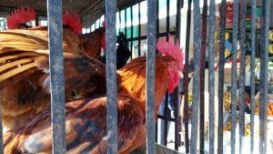 Kura w klatce w Islamabadzie