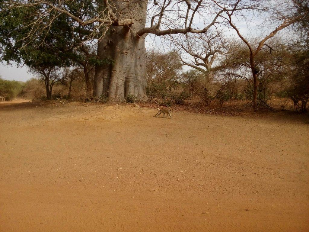 Niewidzialna małpa z parku narodowego w Senegalu
