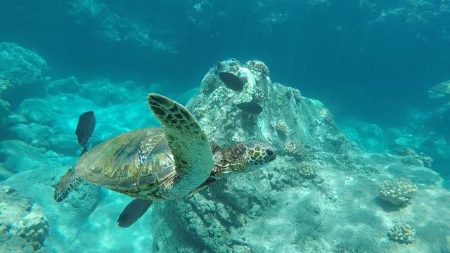 Żółw morski w pobliżu Maui na Hawajach