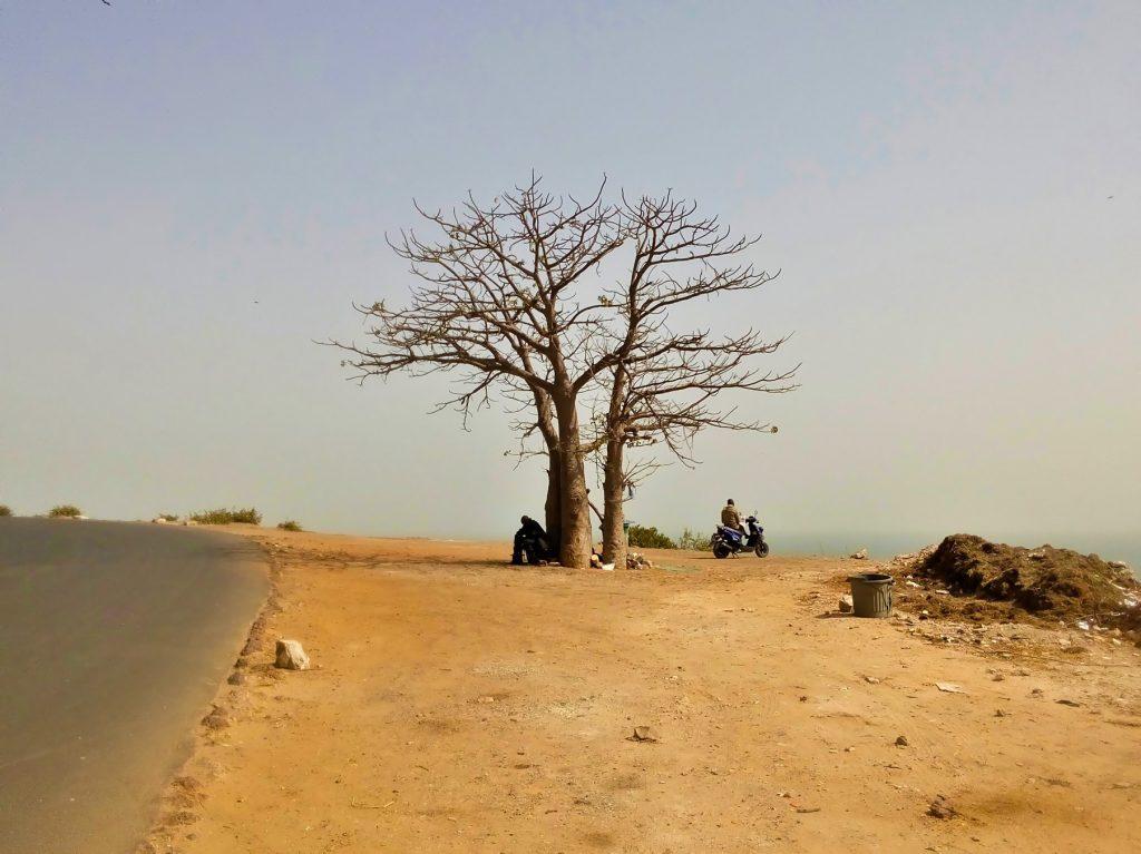 Trzy złączone baobaby rosnące na zboczu urwiska nad brzegiem oceanu w Dakarze