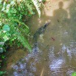Waran z komodo płynie sobie strumykiem w ogrodzie botanicznym