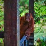 Mały orangutan spogląda spomiędzy dwóch słupów na Borneo