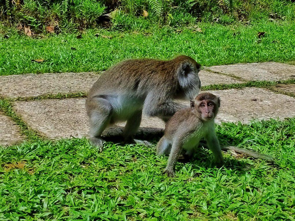 Matka z młodym makakiem krabożernym w Parku Narodowym Bako na Borneo