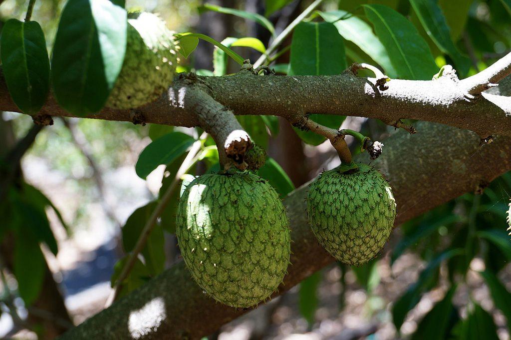 Niedojrzałe owoce Flaszowca Miękkociernistego bądź też po prostu Soursop lub Guanabana. Owoce Azji które zachwycą twoje podniebienie