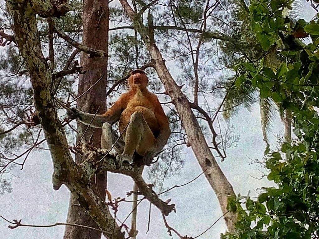 Nosacz sundajski na Borneo - jest to bardzo spokojna małpa