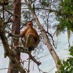 Nosacz sundajski na Borneo - jest to bardzo spokojna małpa która stała się symbolem typowego Janusza