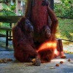 Orangutany na borneo - matka z dzieckiem