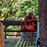 Orangutany w Rezerwacie Natury Serenggoh w pobliżu Kuching na Borneo