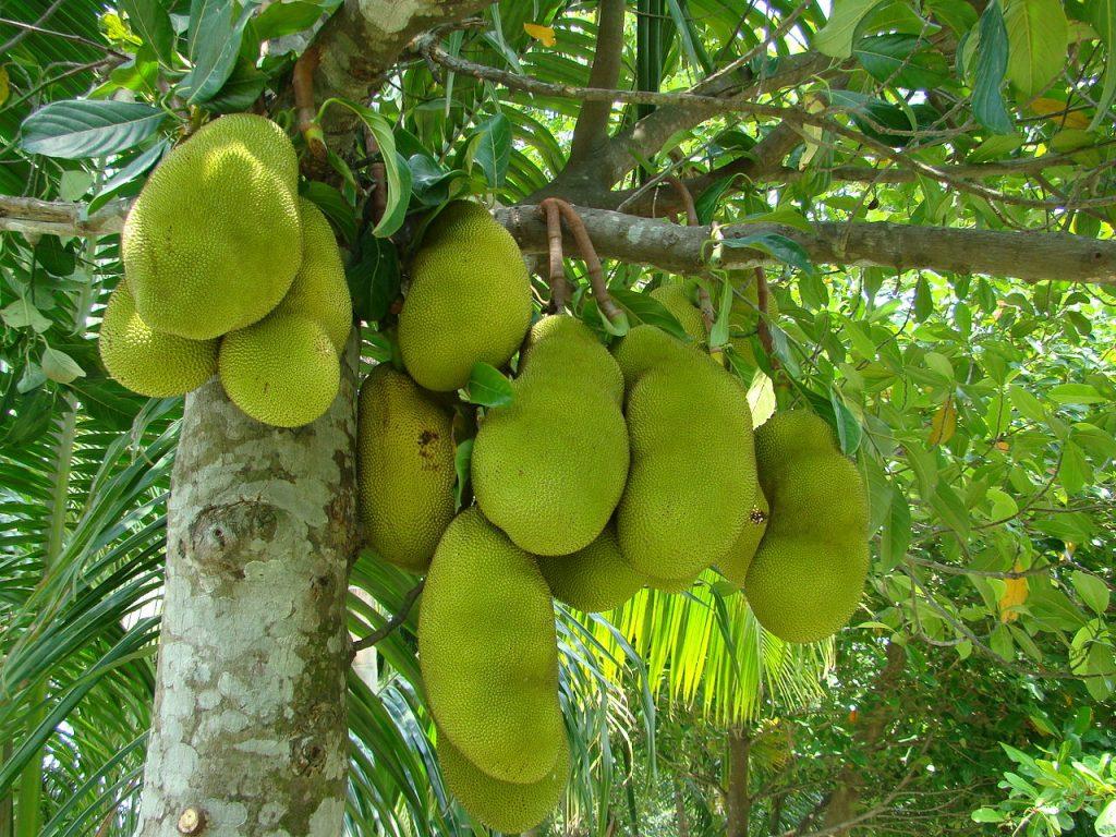 Owoce Dżakfrut lub Chlebowca Różnolistnego w Bangladeszu