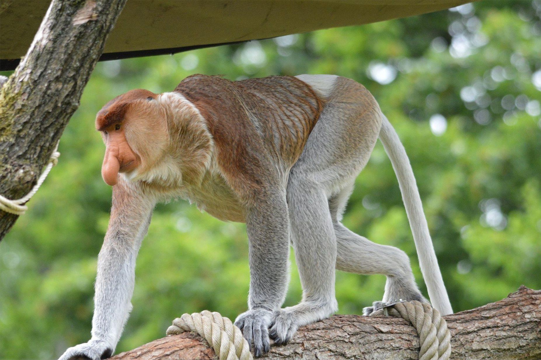 Nosacz Sundajski na wyspie Borneo