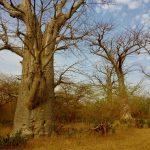 Baobaby na Safari w Paku Narodowym Bandia w Senegalu