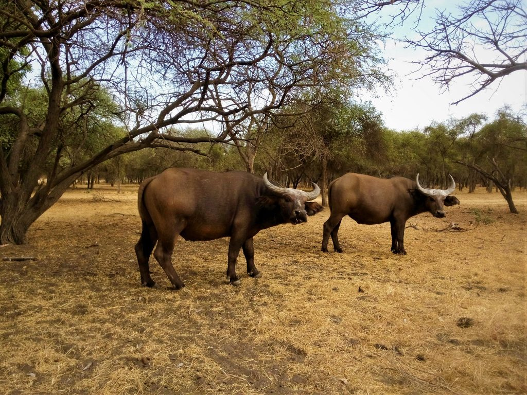 Bawoły na safari w parku narodowym Bandia w Senegalu