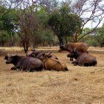Stado bawołów na Safari w parku narodowych Bandia w Senegalu