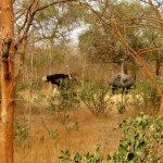 Strusie w Parku narodowym Bandia w senegalu