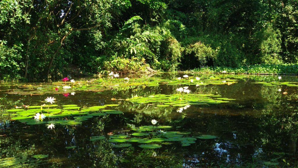 Lilie wodne na stawie w parku Sungei Buloh
