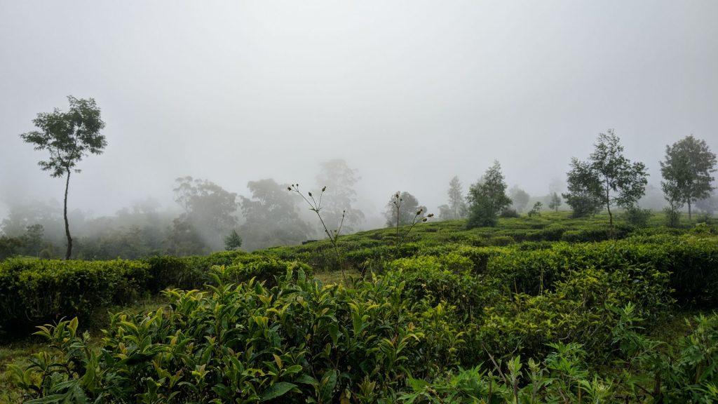 Pola herbaciane pokryte mgłą w okolicach Nuwara Eliya